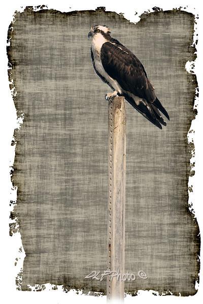 """Osprey on pole.<br /> to purchase - <a href=""""http://bit.ly/14zovGu"""">http://bit.ly/14zovGu</a>           .................................................................pixel paintography"""
