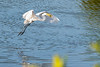 Great egret flying with his dinner in his mouth