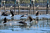 """Cormorant taking off<br /> to purchase - <a href=""""http://bit.ly/XnD4HI"""">http://bit.ly/XnD4HI</a>           .................................................................pixel paintography"""