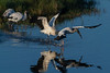 Wood stork taking off from the water