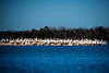 White Pelicans on a sand bar