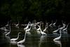 Flying egret in a flock of egrets