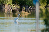 Great white egret feeding in the Everglades