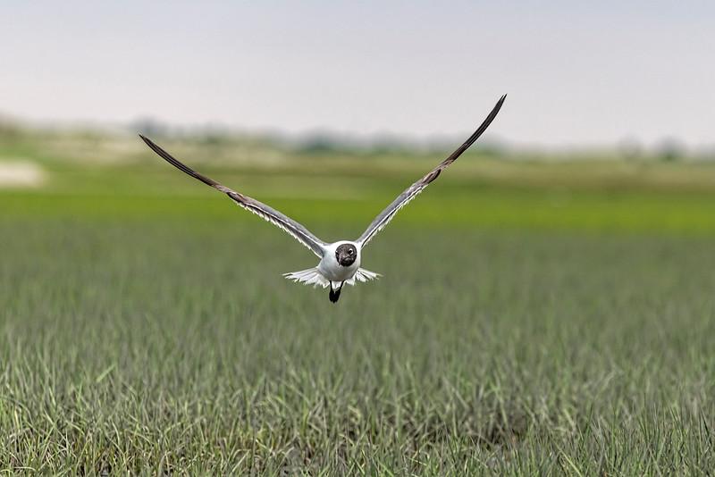 Bonaparte's Gull flying looking