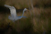 Great egret taking off in the marsh...  paintography