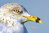 "sea gull at  Harbour Town Hilton Head<br /> <br /> Order framed, metal, acrylic print, canvas, fine art print, photo print at this website - <br />  <a href=""http://fineartamerica.com/featured/gull-yellow-eye-dan-friend.html"">http://fineartamerica.com/featured/gull-yellow-eye-dan-friend.html</a>           .................................................................pixel paintography"