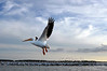 """White Pelican<br /> <br /> Framed, metal, canvas order at this website - <a href=""""http://fineartamerica.com/featured/white-pelican-dan-friend.html"""">http://fineartamerica.com/featured/white-pelican-dan-friend.html</a>           .................................................................pixel paintography"""