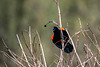 Red winged blackbird protecting his territory from the grass