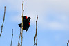 Red winged blackbird calling out while purched sidewasys on a limb