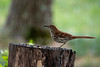 Brown thrasher on a stump