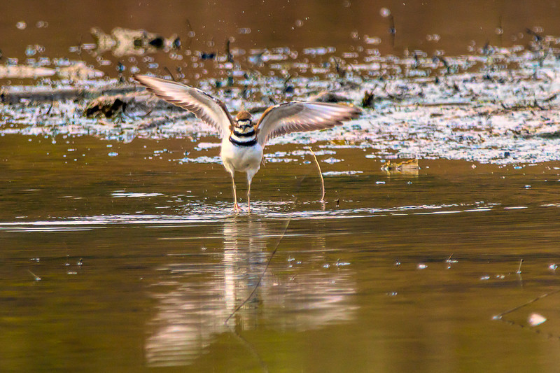 Killdeer flapppping his wings in the swallow water