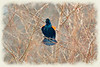 Red winged blackbird protecting his teriitory    painotgraphy