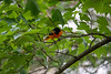 Baltimore Oriole in tree limbs