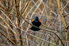Red winged blackbird warning all competitors to stay away