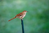 Brown Thrasher perched