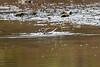 Kildeer, a common wading bird of North America