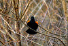 Red winged blackbird calling loud and clear