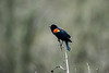 Red winged blackbird sitting on stem looking for competitors