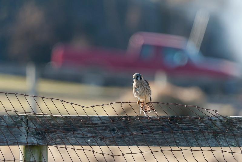 American Kestrel on fence on a farm