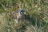 American Kestrel on the ground