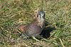 North America's littlest falcon, the American Kestrel packs a predator's fierce intensity into its small body.