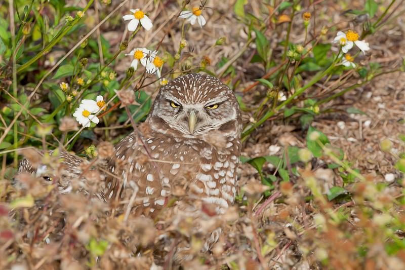 Borrowing owl in field outside the den
