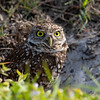 Burrowing owl outside her nest