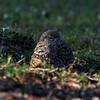 Burrowing owls near their nest