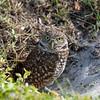 Burrowing owl loutside nest in ground