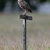 Burrowing owls near their nest