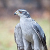 Northern Goshawk walking and looking around
