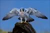 Spreaded wings