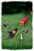 Ruby throated hummingbirds flying near flower