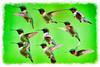 Ruby-throated Hummingbird portraits