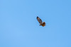 Red tailed hawk flying high