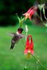 Ruby-throated Hummingbird  looking for food