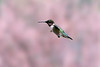 Ruby-throated Hummingbird  flying by