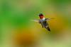 Ruby-throated Hummingbird  flying over