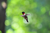 Ruby-throated Hummingbird  flying in one place