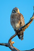 Red-shouldered Hawk on tree branch looking