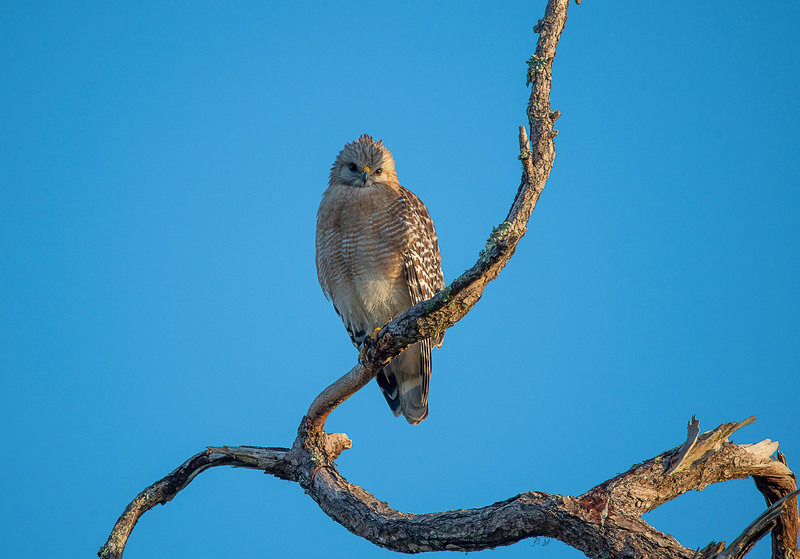 Red-shouldered Hawk on tree branch looking straight