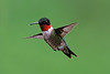 Ruby-throated Hummingbird  showing off his ruby