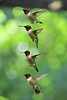 Ruby-throated Hummingbirds picture