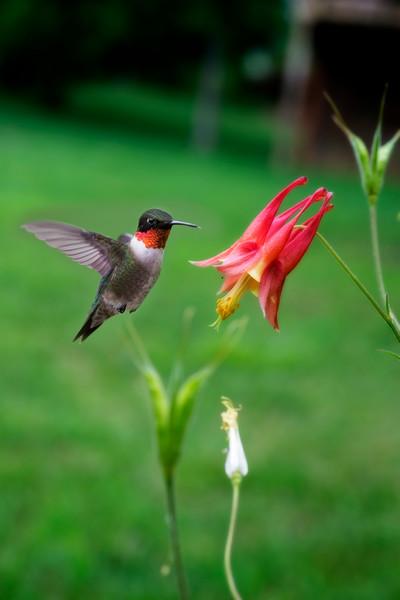 Ruby throated Hummingbird getting ready feed on Wild Columbine flower