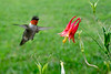 Ruby throated hummingbirds eyeing a flower