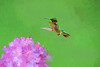 Ruby-throated Hummingbird  paintography picture