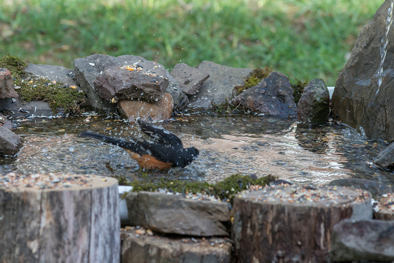 Eastern Towhee bathing -Birds bathing in water.........Digital files or prints get be obtained by e mailing DFriend150@gmail.com