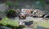 Sparrow bathing in pool