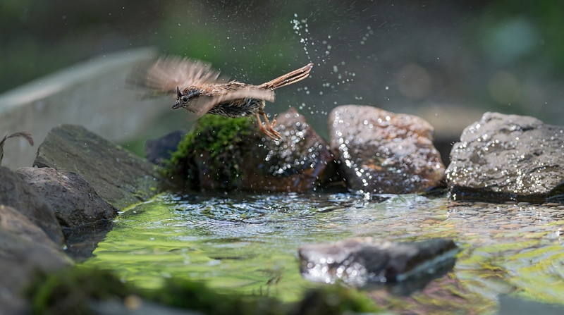Sparrow flying off after bathing in pool