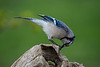 Blue jay opeining a sunflower seed